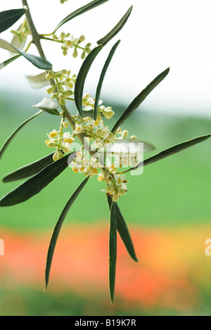 Flowering olive branch, close-up - Stock Photo
