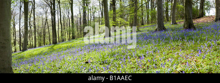 Bluebells in a Cotswold beechwood in springtime at Crickley Hill Country Park, Gloucestershire - Stock Photo