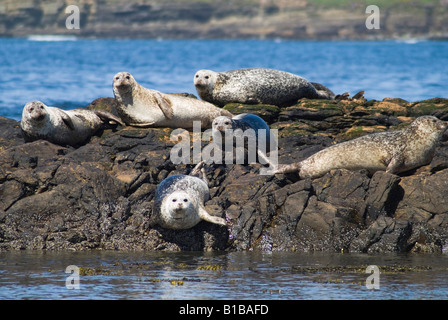 dh Phoca vitulina seal colony SEALS HARBOR UK SCOTLAND Common harbour seals basking on rocks Birsay Orkney rock - Stock Photo