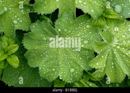 Rain droplets on ladys mantle Alchemilla mollis leaf - Stock Photo