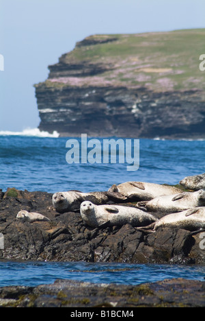 dh Phoca vitulina SEAL ORKNEY uk Common seal basking on rock Birsay Orkney rocks seals colony Scotland - Stock Photo