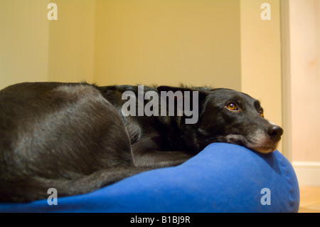 Dog resting on a bean bag - Stock Photo