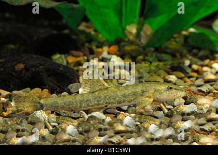 Stone Loach (Noemacheilus barbatulus, Barbatula barbatulus, Nemacheilus barbatulus) - Stock Photo