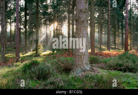 A low sun streaming through a conifer forest - Stock Photo