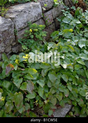Barrenwort (Epimedium x perralchicum 'Frohnleiten') - Stock Photo