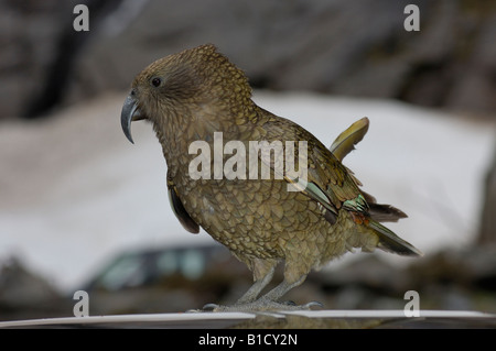 Worlds only alpine parrot Kea Nestor notabilis Homer Tunnel into Milford Sound Fiordland New Zealand - Stock Photo