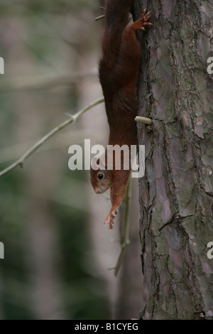Red squirrel stretching on a tree trunk at Formby point - Stock Photo