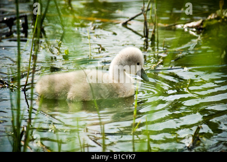 A mute swan cygnet pictured swimming on a pond just two weeks old. - Stock Photo