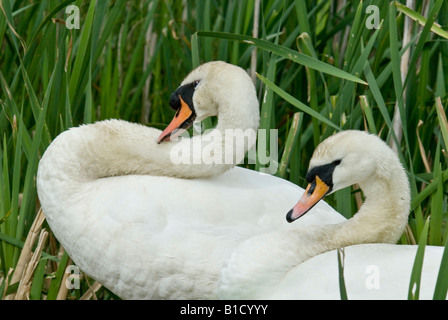 Adult mute swans pictured on the nest guarding their brood of cygnets. - Stock Photo