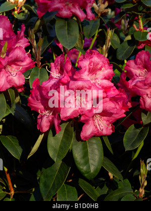 William's rhododendron (Rhododendron williamsianum 'Lissabon') - Stock Photo