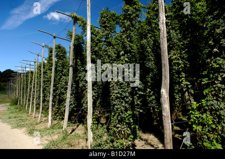 Hop bines vines Humulus lupulus growing in Kent England - Stock Photo