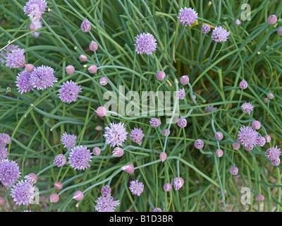 flowering blooming chives Allium schoenoprasum - Stock Photo