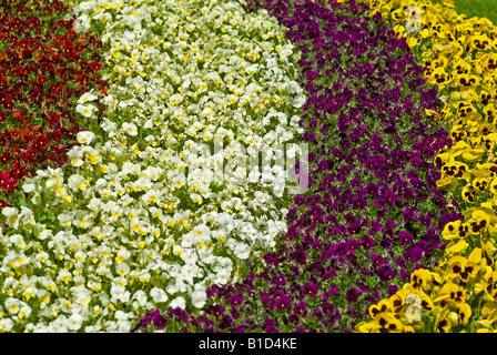 blooming flowers in flowerbed viola pansy in different colours in the flower park Mozirski Gaj in the town Mozirje - Stock Photo
