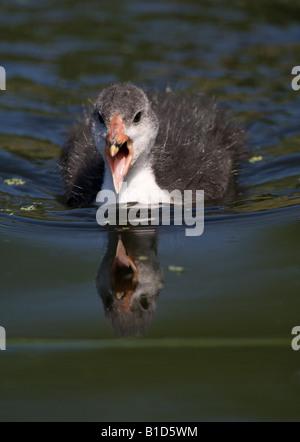 Coot chick Fulic atra London UK summer - Stock Photo