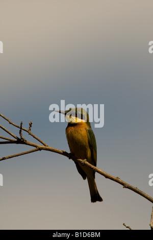 Little Bee-Eater at Lake Manyara in Tanzania - Stock Photo