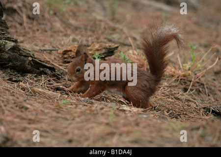 Red Squirrel burying a nut - Stock Photo