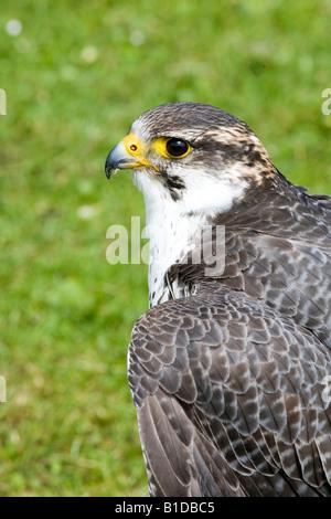 Captive Peregrine Falcon, predator, hawk, beak, feather, wild, raptor, prey, falconry, at Bird Display, Scotland, - Stock Photo
