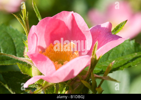 Close up of dog rose Rosa canina in the Somerset countryside - Stock Photo