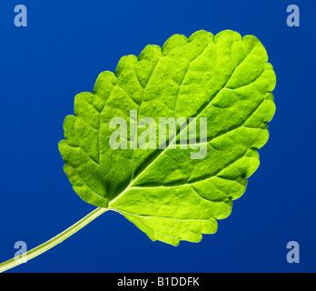 A lemon balm leaf - Stock Photo