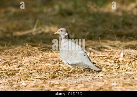 Band-tailed Pigeon Patagioenas fasciata - Stock Photo