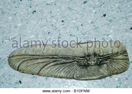 carboniferous period dragonfly fossil Mazonopterum wolfforum - Stock Photo