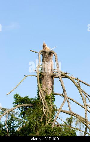 Storm damaged Pine tree, Indre, France. - Stock Photo