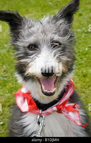 A black & white Merle lurcher, which is the offspring of a sighthound mated with another breed,  Rescue Dog wearing - Stock Photo