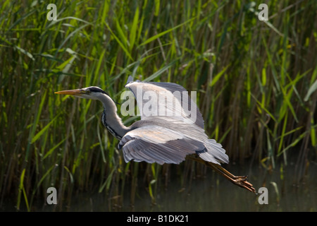 heron take-off from reedbed - Stock Photo