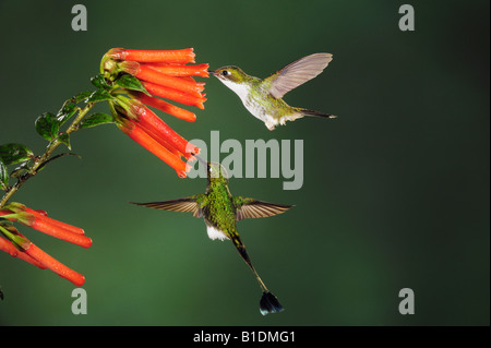 Booted Racket-tail Hummingbird Ocreatus underwoodii male and female feeding from flower Mindo Ecuador Andes South - Stock Photo