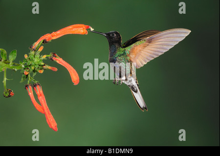 Velvet-Purple Coronet Hummingbird Boissonneaua jardini adult feeding on flower Mindo Ecuador Andes South America - Stock Photo