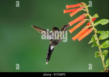 White-whiskered Hermit Hummingbird Phaethornis yaruqui adult feeding on flower Mindo Ecuador Andes South America - Stock Photo