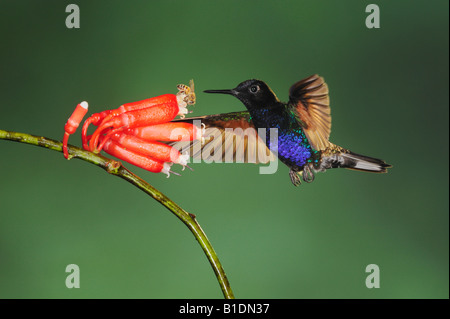 Velvet-Purple Coronet Hummingbird Boissonneaua jardini adult feeding on flower with bee Mindo Ecuador Andes South - Stock Photo