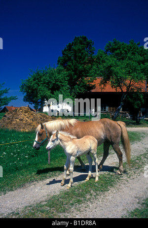 Horses mare and foal village of Wies Bavaria Germany Europe - Stock Photo