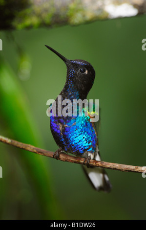 Velvet-Purple Coronet Hummingbird Boissonneaua jardini adult perched Mindo Ecuador Andes South America February - Stock Photo