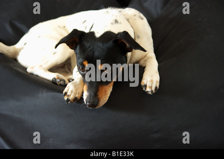 A Jack Russell called Macy lying on a Fatboy bean bag - Stock Photo