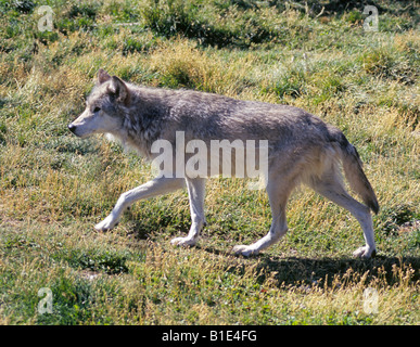 Portrait of a North American grey wolf Canis lupus also known as a timber Wolf or lobo male - Stock Photo