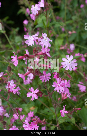 Red Campion Flowers in Meadow in the Cheshire Countryside nglandUnited Kingdom - Stock Photo