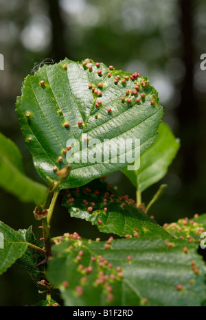 European alder (Alnus glutinosa) leaf deformations caused by gall mites (Eriophyes laevis laevis) - Stock Photo