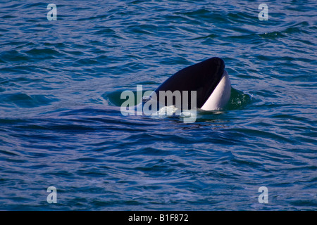 An orca calf (killer whale, orcinus orca) 'spy hopping' - Stock Photo