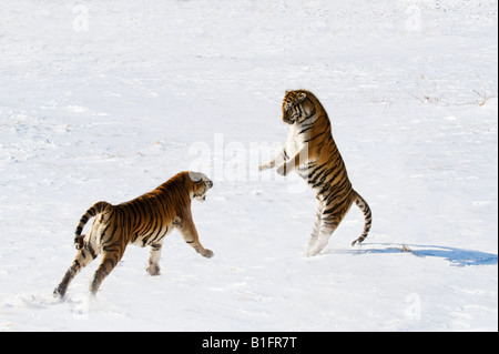 Siberian Tigers fighting in the snow China - Stock Photo