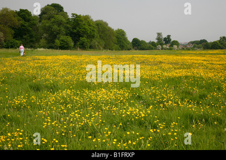 Buttercups on Foots Cray Meadows, Sidcup, Kent