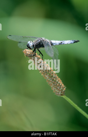 Scarce Chaser Dragonfly (Libellula fulva) on Plantain - Stock Photo
