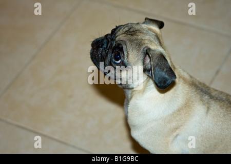 Pug Dog Portraits - Stock Photo