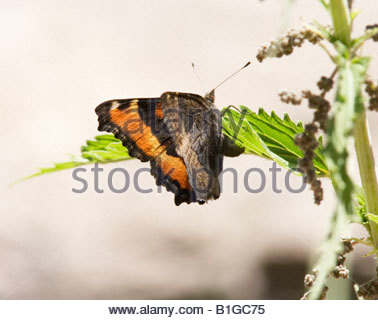 Milbert's Tortoiseshell Nymphalis milberti Butterfly  Nymphalidae Subfamily Nymphalinae - Stock Photo