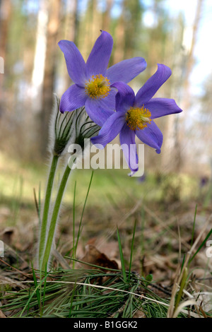 beautiful snowdrop flowers in the forest - Stock Photo