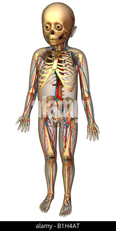 anatomy circulation skeleton - Stock Photo
