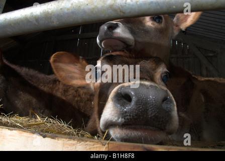 Jersey Guernsey Calf in a Pen - Stock Photo