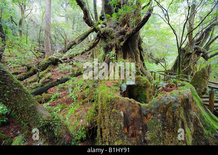 Moss covered trees in a forest, Yakusugi Forest, Yakushima Island, Kagoshima Prefecture, Japan - Stock Photo