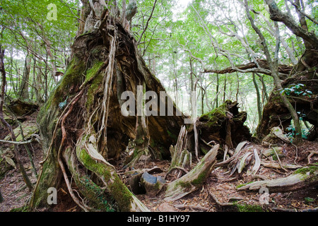 Low angle view of trees in a forest, Yakusugi Forest, Yakushima Island, Kagoshima Prefecture, Japan - Stock Photo