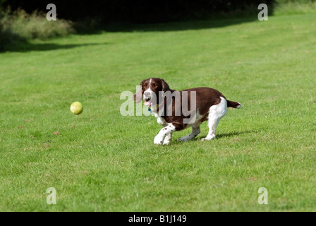 Springer Spaniel dog playing with a tennis ball - Stock Photo